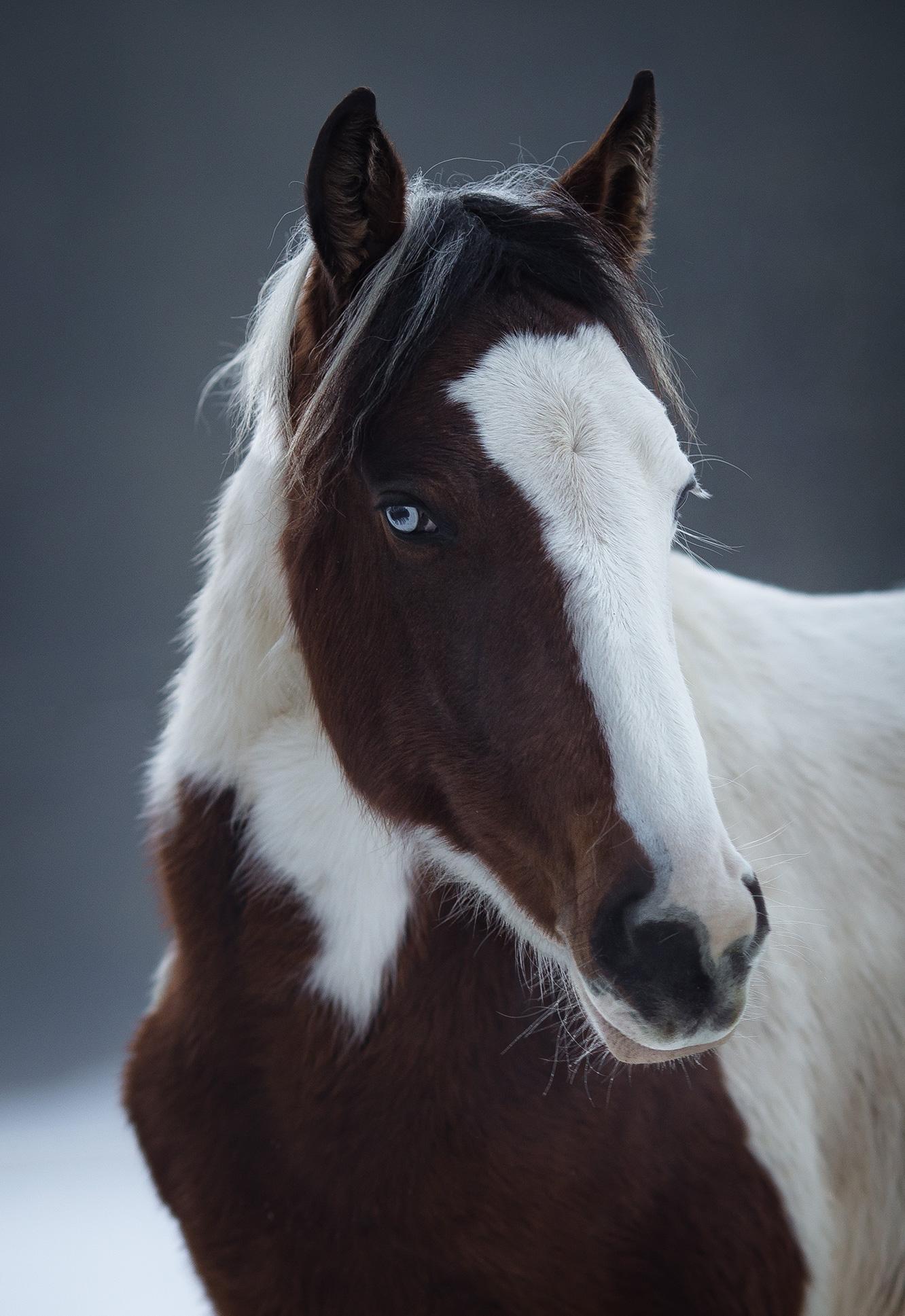 Equin_Portrait_Pferd